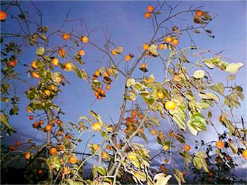 身不知柿の木