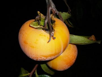 おいしそうな柿