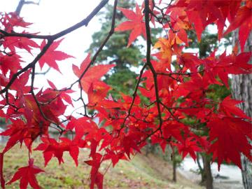 秋のもみじ