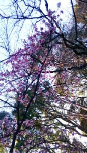 上野公園のカンザクラ?